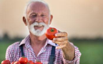 Culture Tomate